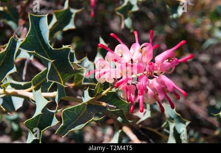 Grevillea insignis (wax grevillea, W.A.), Australian Garden, Cranbourne, Victoria - Stock Image