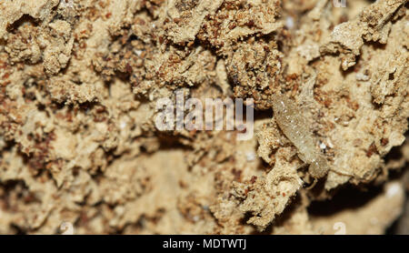 Drywood termite worker going over rotten wood, tunnels and faecal pellets (termite droppings). Soft and pale colored body. - Stock Image