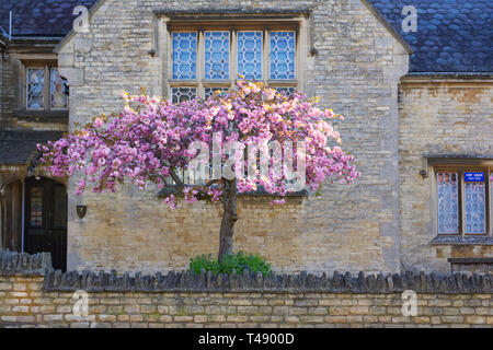 Prunus. Japanese cherry tree blossom. Cherry blossom in an English garden. - Stock Image
