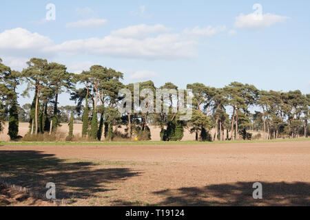 Lines of Scots pine trees edging fields in the Brecklands - Stock Image