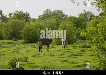 Pair of waterbuck, Kobus ellipsiprymnus, in Mole National Park, Ghana. - Stock Image