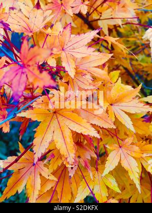 Japanese Maple leaves in autumn. - Stock Image