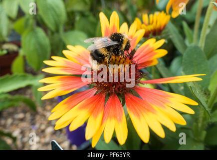 A bumblebee on a Gaillardia flower. - Stock Image
