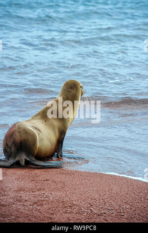 Sea lion (Zalophus wollebaeki) on the red beaches of Rabida Island. Galapagos Islands Ecuador - Stock Image