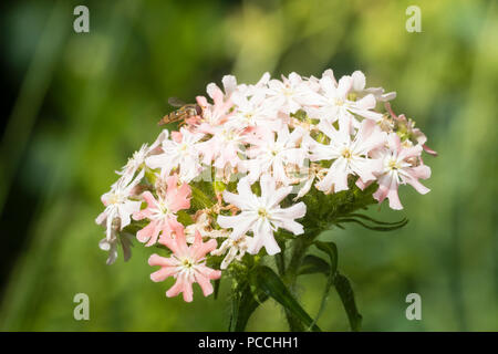 Flower head of the pink form of the hardy perennial Maltese cross, Lychnis chalcedonica 'Rosea' - Stock Image