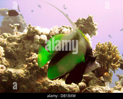 A pennant coralfish (lat.: Heniochus intermedius) is pictured in the Red Sea near Dahab, Egypt, 07 November 2007. - Stock Image