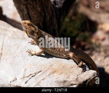 Bearded dragon at  Hartley's Crocodile Adventures, Captain Cook Highway, Wangetti, Queensland, Australia. - Stock Image