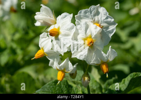 Blossom of potato plant (Solanum tuberosum) - Stock Image
