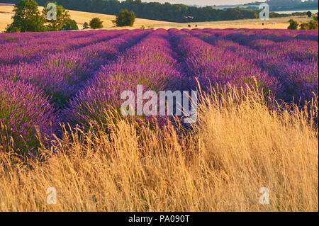Lavendar fields in the Cotswolds, England on a summer evening - Stock Image