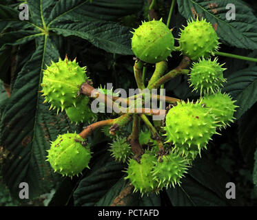 Young Horse Chestnuts, Conkers, green on a tree, Hatton, Warrington, Cheshire, North West England, UK - Stock Image