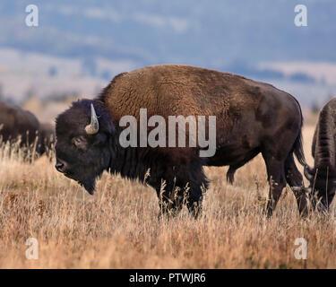 Bison - Stock Image