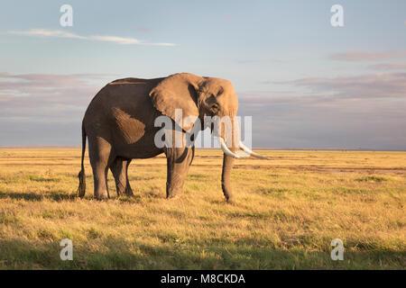 Large bull African elephant grazing on open grassland in beautiful morning light in Amboseli NP, Kenya - Stock Image