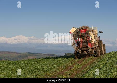 Harvesting sugar beets in Biei Hokkaido Japan - Stock Image