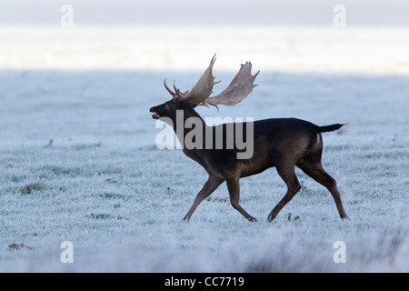 Fallow Deer (Dama dama), Black Buck Roaring, during the Rut, Royal Deer Park, Klampenborg, Copenhagen, Sjaelland, - Stock Image