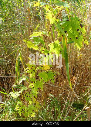 Young maple tree leaves damaged by tar spot disease close up - Stock Image