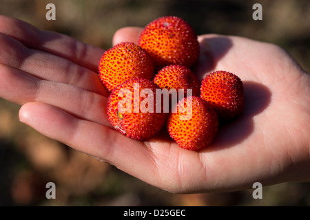 Beautiful arbutus on a hand. - Stock Image