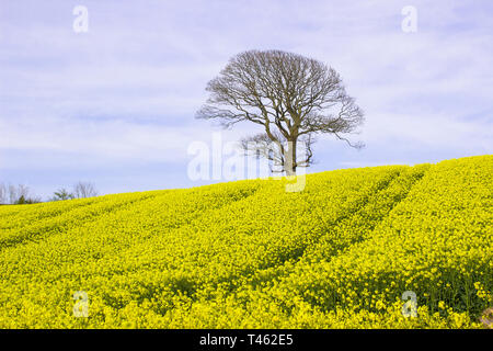 A field of oil seed Rape in full flower in a County Down field. This spectacular crop is a vital food oil source - Stock Image