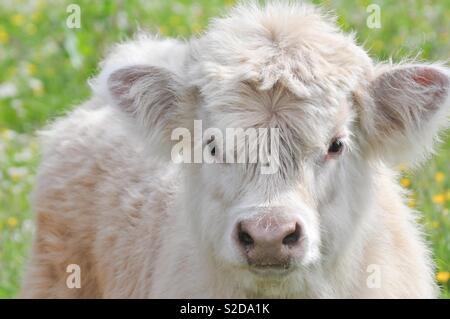 Highland calf on Arran, Scotland - Stock Image
