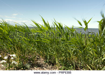 Windy day by the sea. Seaweed blowing in the wind. - Stock Image