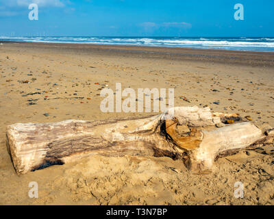 A large piece of driftwood, part of a tree lying on a wide sandy beach on the North Yorkshire Coast with distant wind farm - Stock Image