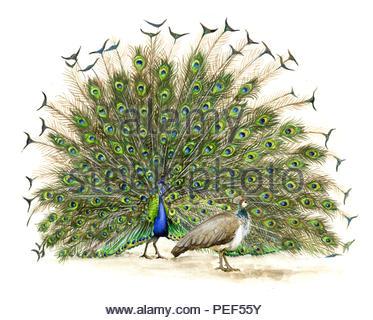 blue peacock pavo cristatus - Stock Image