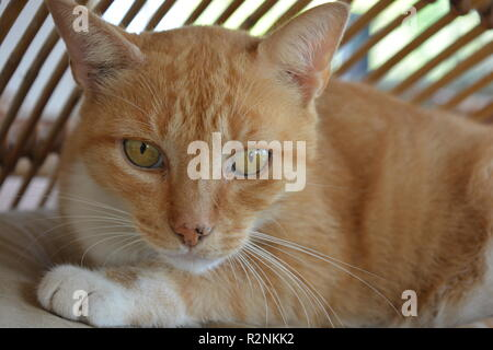Ginger marmalade cat with yellow eyes, portrait, looking at camera - Stock Image