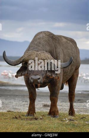Vertical image of water buffalo on lake shore. Lake Nakuru, Kenya. - Stock Image