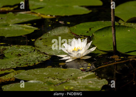 White Lily Lotus with yellow polen on dark background floating on water in Danube Delta - Stock Image