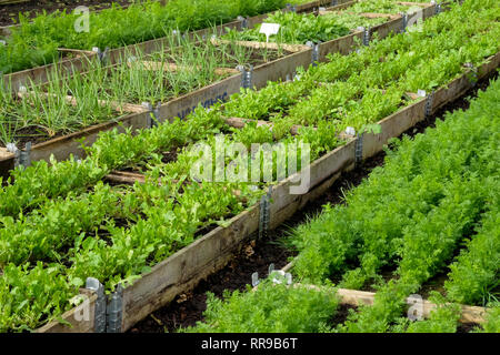 Four rows of raised vegetable beds with wooden sides in lines in a plastic green house, polytunnel, growing in the beds are ten different varieties of - Stock Image