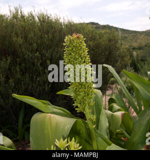Eucomis pallidiflora Giant Pineapple Flower, Giant Pineapple Lily, Asparagaceae in seed, in South Africa - Stock Image