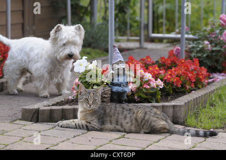 Tabby cat lying in the garden in front of a garden gnome and a flower bed, West Highland Terrier at back - Stock Image