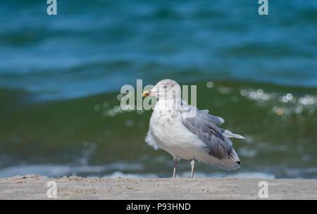 European herring gull - Stock Image
