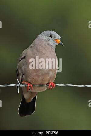 Croaking Ground-dove (Columbina cruziana) adult male perched on barbed wire fence  Loja, Ecuador                        February - Stock Image