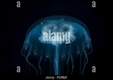 Common Jellyfish, Aurelia, portrait on black background, taken deep sea in Egypt - Stock Image