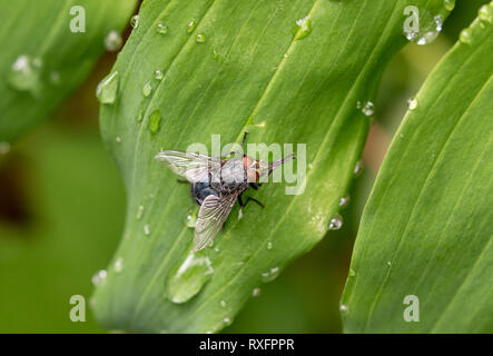 Blue Bottle Fly (Calliphora vomitoria) on a leaf, Toronto, Ontario, Canada - Stock Image