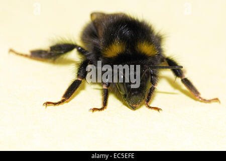 close-up of a bumblebee - Stock Image