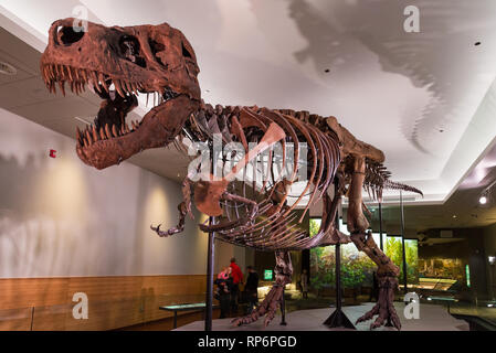 Fossil skeleton of the famous 'Sue' the T. Rex in display. The Field Museum. Chicago, Illinois, USA. - Stock Image