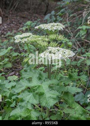 Specimen of late-flowering (December) Hogweed / Heracleum sphondylium - an Umbellifer - in a woodland area. - Stock Image