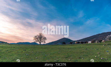 Spring in the mountain, cows on green meadow pasture next to lonely oak tree during sunrise - Stock Image