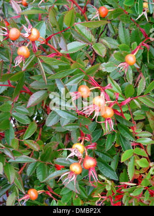 red and yellow rose hips on a Japanese wild rose growing in Maine, USA. The rose hip, also known as rose haw or rose hep. - Stock Image