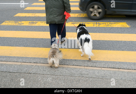 man crossing road with his dogs - Stock Image