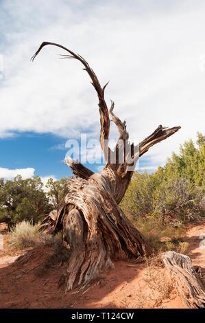 Gnarled trunk of a dead Juniper tree (juniperus osteosperma) in Dead Horse Point State Park, Utah, USA. - Stock Image