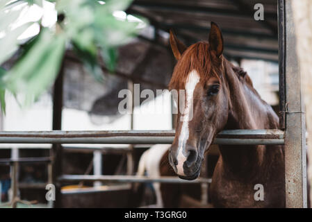 Domestic horse in a stable cage. concept of livestock and animal abuse - Stock Image
