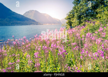 Beautiful Norwegian landscape with fjord and fireweed. - Stock Image