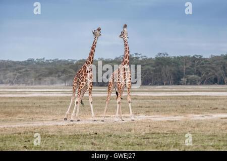 Two giraffes necking. Lake Nakuru, Kenya. Africa. - Stock Image