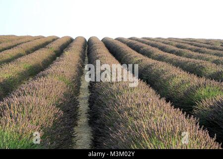 Lavender fields in Valensole, Provence, France - Stock Image
