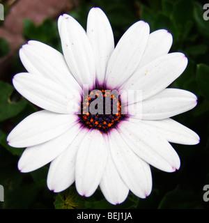 White daisy - Stock Image