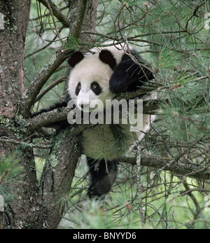 Young giant panda playing in pine tree, Wolong, Sichuan China, September - Stock Image