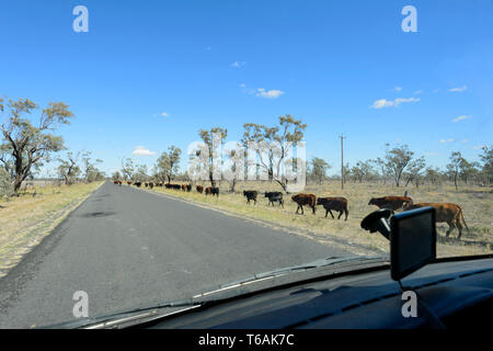 A herd of cattle walking along the Carnarvon Highway in the Queensland interior, QLD, Australia - Stock Image