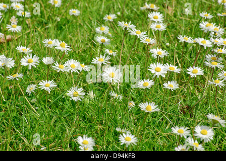 Daisies in an untidy lawn - Stock Image